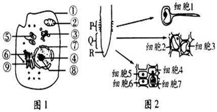 (7分)图1是高等动物细胞亚显微结构示意图,图2是某植物根尖及局部结构
