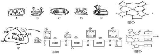 下图中A~E是从几种生物细胞中分离出来的5种细胞器,图是三种有机物结构示意图,图中的甲表示某蛋白质的肽链结构示意图(其中数字为氨基酸序号),乙表示其部分肽链放大图,请回答下列问题([ ]内填字母,横线上填细胞器的名字):  (1)从细胞中分离各种细胞器的方法是先将细胞膜破坏后,获得各种细胞器和细胞中其他物质组成的匀浆,再用 的方法获得各种细胞器。 (2)图所示的物质存在于 [ ] 中,该物质与绿色植物的光合作用有关。 (3)若图为脱氧核苷酸链,则从碱基组成上看,还应有的碱基是 ,该物质可存在于上