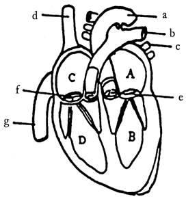 (12分)右图是人体心脏结构示意图,据图回答下列问题图片