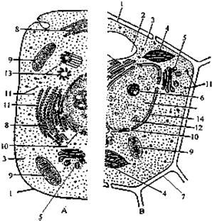 高尔基体 有关; (3)细胞内有双层膜的结构有细胞核,叶绿体,线粒体