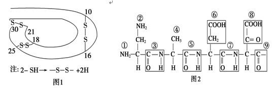 下面是某蛋白质的肽链结构示意图(图1,其中数字为氨基酸序号)及部分肽链的放大图(图2)。请据图判断,下列叙述中不正确的是  A.该蛋白质中含有两条肽链49个肽键 B. 从图2可推知该蛋白质至少含有4个游离的羧基 C. 图2中含有的R基是 D.该蛋白质形成过程中,分子质量减少了888