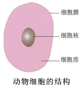 植物细胞或动物细胞
