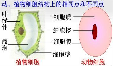 (4)与植物细胞的结构相比