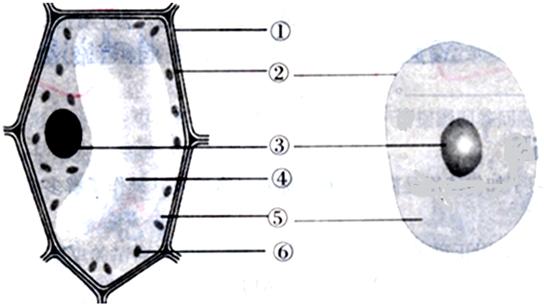 七年级上学期生物北京课改版习题  (1)从上图可见,植物细胞和动物细胞