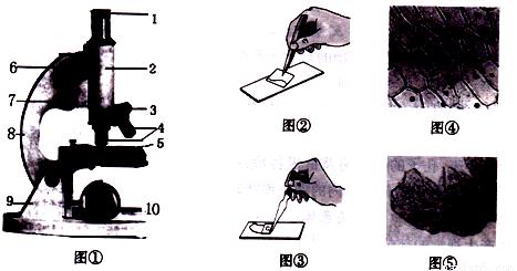 (5)图④中,在显微镜下看到的颜色最深的是细胞中的哪一结构?