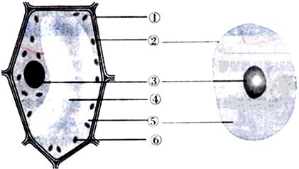 (2)动物细胞没有①和大的④&
