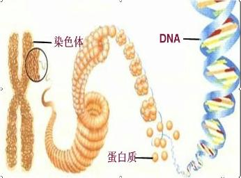 由dna和蛋白质组成,dna是遗传物质的载体,它的结构像一个螺旋形的梯子