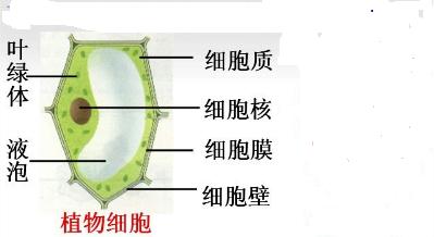 衣藻形态结构示意图