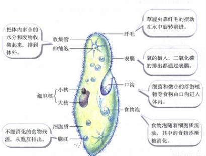 """单细胞生物的结构和生活知识点 """"草履虫的表膜不具有下列哪一项功能"""