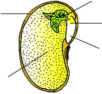 注明大豆种子结构各部分名称并写出作用或发育后的情况.
