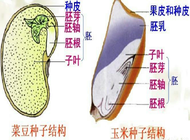 如图为菜豆种子(图甲)和玉米种子(图乙)结构示意图