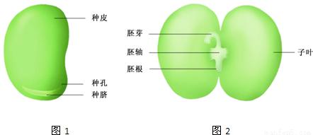 (1)在观察玉米种子的结构实验中,要将玉米种子纵向剖开,因此图1能够正确表示玉米种子解剖方向的是A,在玉米种子的剖面上滴一滴碘液,变蓝色的胚乳,因为胚乳里有淀粉.因此能正确表示用碘液对玉米种子剖面染色结果的是D, (2)种子的成分包括有机物(淀粉、蛋白质和脂肪)和无机物(水和无机盐),在测定种子成分实验中,要鉴定小麦面粉在水中揉挤后得到的乳白色液体是淀粉溶液和黄白色面筋中的主要的有机物是蛋白质.淀粉遇碘变蓝色是淀粉的特性,双缩脲与蛋白质接触后的颜色呈紫色.因此可用碘液和双缩脲试剂分别检验淀粉和蛋白质