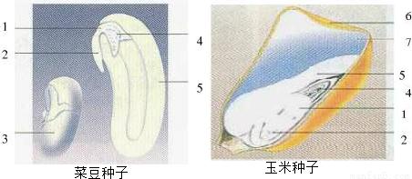 如图为菜豆种子和玉米种子的结构