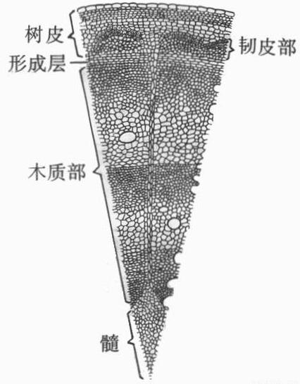 """双子植物木质茎的基本结构和主要功能知识点 """"用来做家具的木材主要是"""