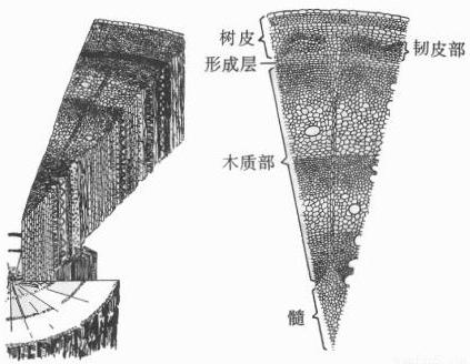 其中维管束由韧皮部,形成层和木质部组成,形成层是位于木质部和韧皮