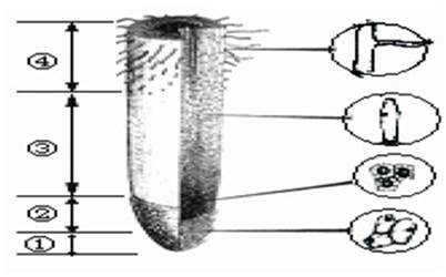 """""""习题详情  (3分)下图是植物根尖结构示意图,请据图回答: (1)根吸收"""