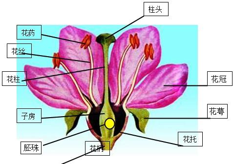 解:图为桃花的结构图,桃花是两性花,各部分的名称标注如下