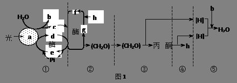叶绿体结构和功能示意图