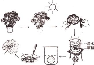 如图表示把银边天竺葵(叶片边缘部分细胞中无叶绿体)放在黑暗处一昼夜图片