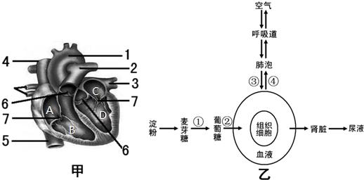图图中甲是心脏结构示意图,乙是人体部分代谢过程模式图,请据图同答