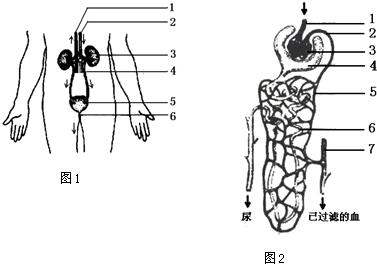 如图1是泌尿系统和图2是肾单位结构图,填写各结构名称及主要功能