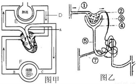 """肾脏的结构和功能知识点 """"如图甲和乙分别是血液循环和肾单位结构示意"""