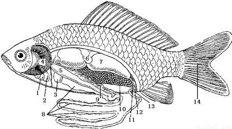 下图为鲫鱼的内部结构示意图,据图回答