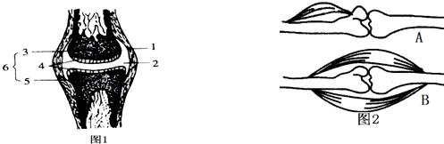 """关节的基本结构和功能知识点 """"关节是运动系统重要的组成部分."""