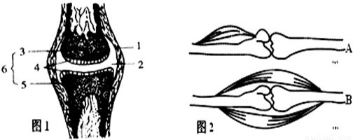 下图是人体屈肘动作图,请据图回答下面问题。  (1)图中收缩的是 肌,舒张的是 肌。 (2)当你做伸肘动作时,肱二头肌处于 状态,肱三头肌处于 状态。 (3)如果你提一桶水,容易感到累,这是因为肱二头肌和肱三头肌都处于 状态。 (4)从结构层次上看,完整的肱二头肌属于 (填 细胞、组织、或器官)水平。 (5)由图中可知,肱二头肌的肌腱至少固定在 。
