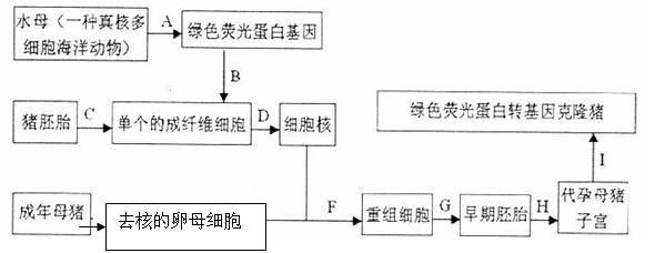 绿色荧光蛋白转基因克隆猪具体培育过程如下图所示,请