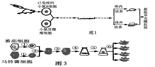 如图1表示利用生物技术制备抗x的单克隆抗体的过程;图2表示体外受精培