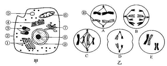 (13分)下图甲是某高等动物细胞亚显微结构示意图,图乙