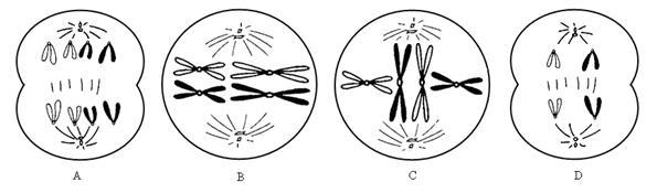 经过分析,习题下图I是某雄性动物的细胞分裂示意图,图为细胞分裂过程中DNA含量变化曲线。请分析回答:(1)图I中A、B、C、D所示的细胞,进行减数分裂的是____,B细胞的名称为____。(2)C细胞有____对同源染色体,其对应于图中的____段。...主要考察你对减数分裂和受精作用 等考点的理解。