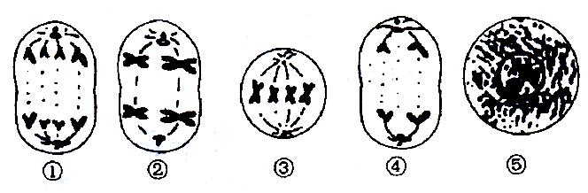 """""""下面是某种动物细胞进行有丝分裂和减数分裂.""""习题详情"""
