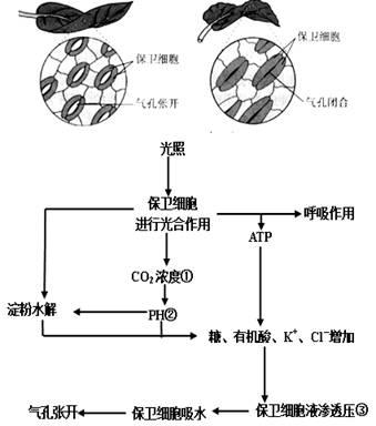 """""""习题详情  (1)保卫细胞与叶表皮细胞在结构和生理上最主要的区别是"""