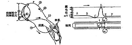 下图为膝反射弧结构示意图及动作电位在神经元