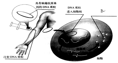 图表示人体通过体液免疫消灭破伤风杆菌外毒素的过程,下列相关叙