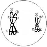 抗病椺#k��jybk�/g9�*_下图为利用纯合高秆(d)抗病(e)小麦和纯合矮秆(d)染病