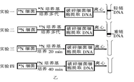 """dna的结构与复制知识点 """"豌豆叶肉细胞中,含有的核酸,碱基,核苷酸."""