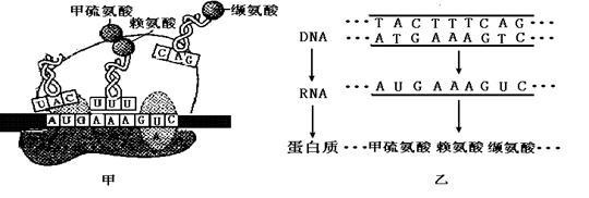 (4)某遗传病是该蛋白质分子的多肽链上,一个赖氨酸被一个天冬酰胺