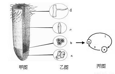 """""""习题详情  下图是植物体根尖的有关生命现象示意图."""