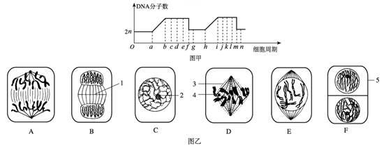 高等动物睾丸内细胞分裂图像和染色体数目变化曲线