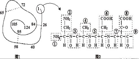 下面是某蛋白质的肽链结构示意图