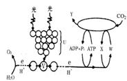 u至y的能量转换是在叶绿体囊状结构薄膜上进行图片