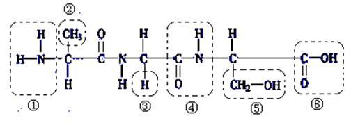 (每空2分,共18分)下列是某化合物的结构简图,据图回答