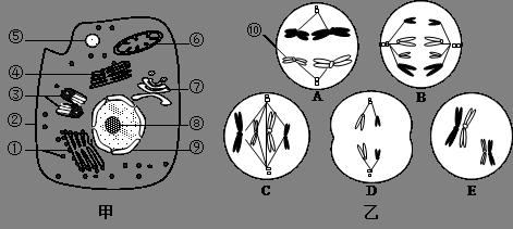 (9分)下图甲是某高等动物细胞亚显微结构示意图