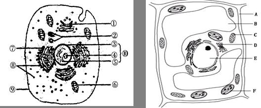 下图为某人体细胞示意图和植物细胞亚显微结构示意图