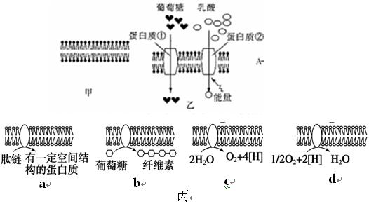 图丙表示在真核细胞四种不同细胞器的膜结构上发生的化学反应示意图