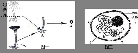 (1)图二为 结构模式图,位于图一伞藻的&