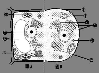 右图为动物细胞和植物细胞部分结构示意图,请据图回答